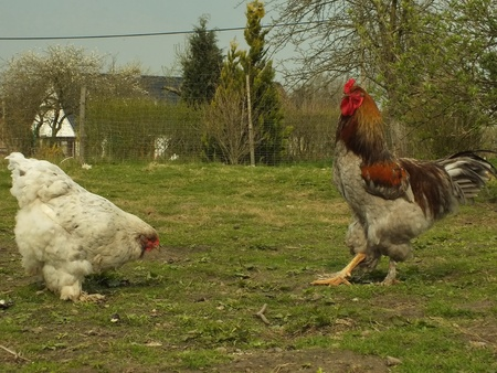 happy chickens live on the farm