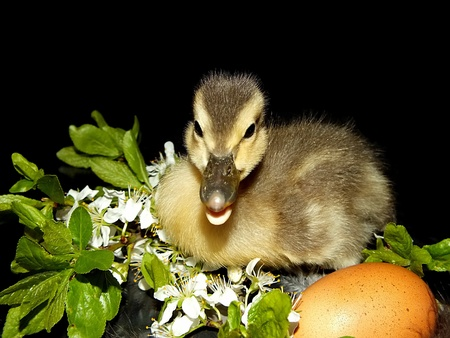 background cute little duckling with bright flowers in front of a black Stock Photo - 13567029