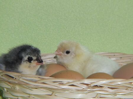 no day old chicks, the little living Stock Photo - 13590480