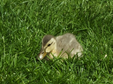young little duck eats green grass meadow photo