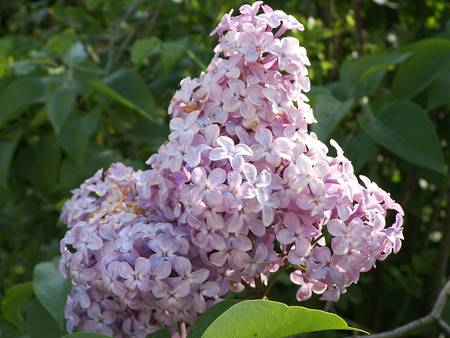 colorize: lilac