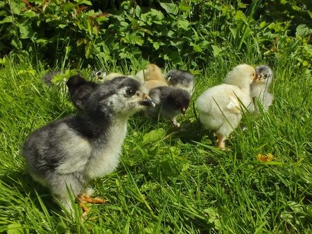 chicken chicks photo