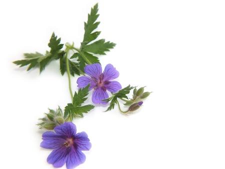 Geraniaceae Stock Photo