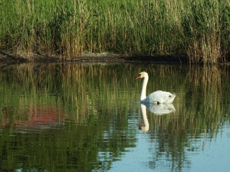 swan Stock Photo - 13964345
