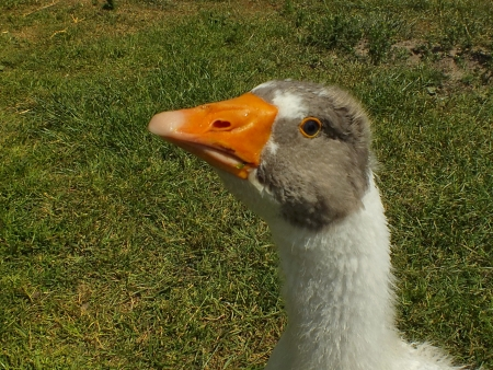 young goose photo