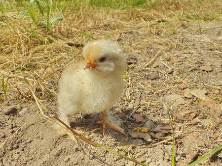 one day old chicken little fluffy chick photo