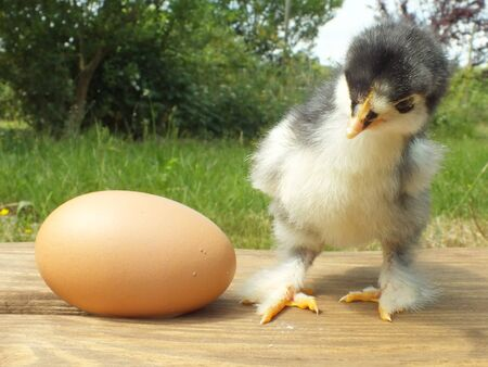 one day old chicken little fluffy chick Stock Photo - 14059724