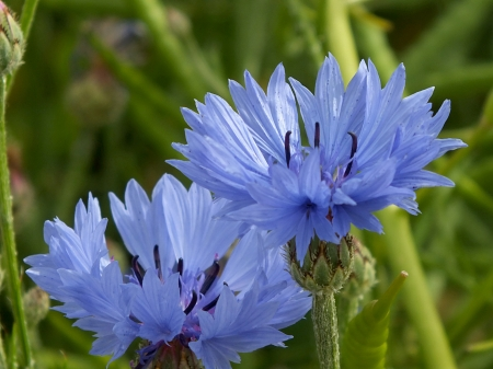 cornflower Stock Photo - 14170395