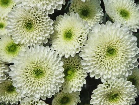 Chrysanthemum, Asteraceae