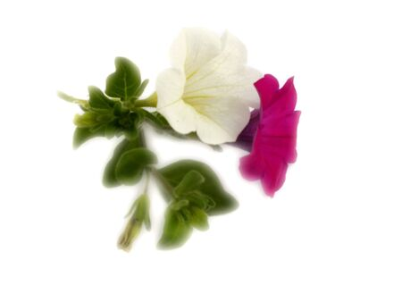 seed bed: petunia
