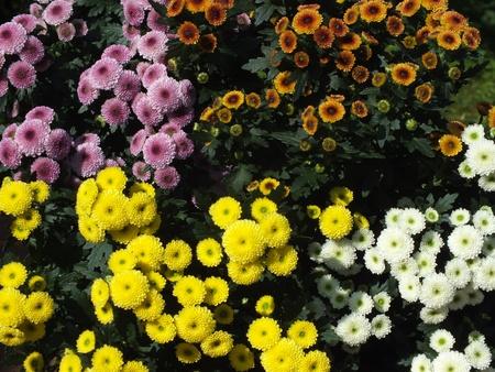 Asteraceae flower photo