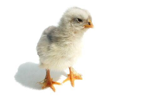 fluffy chicken Stock Photo - 15223757