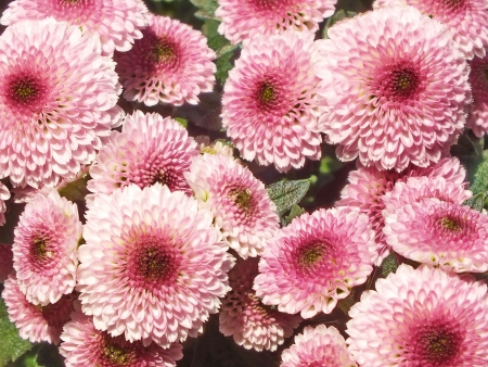 Chrysanthemum, Asteraceae,