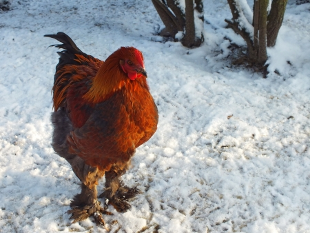 live chickens in the snow in the winter Stock Photo - 16714495
