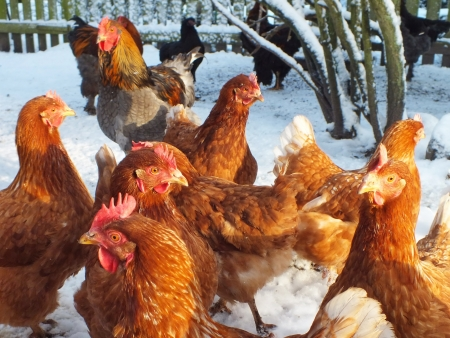 live chickens in the snow in the winter Stock Photo - 16714492