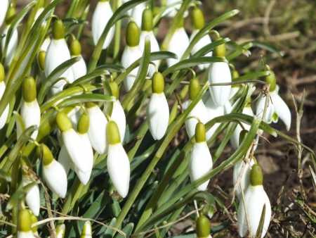 Galanthus,snowdrop photo