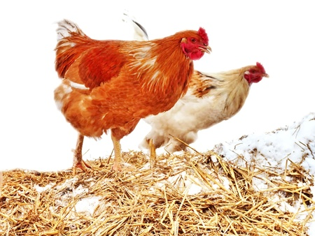 exempted: healthy brown chicken farm exempted from