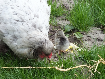 newly hatched chickens chicks in green grass photo