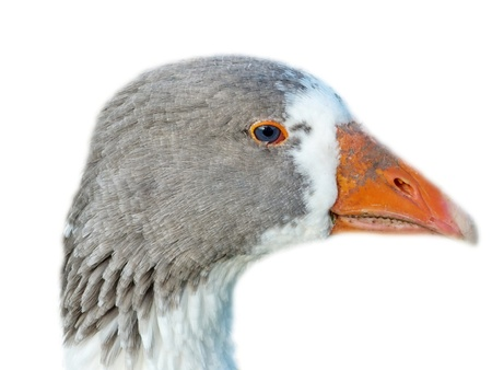 portrait of young female goose in front of white background optional photo