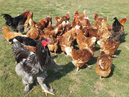 farm chickens in the countryside photo