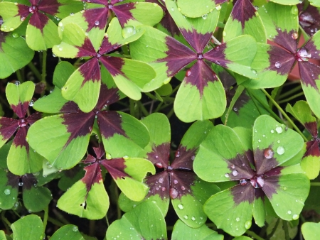 Oxalis tetraphylla, wet from rain, four leaves clover, lucky charms Stock Photo