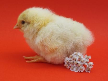 living chicken chicks photo