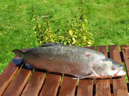 predatory: Aspius aspius ,very large predatory freshwater fish just caught on the garden table Stock Photo