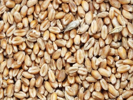 many individual wheat grains, close up photo