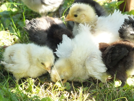 small chickens chicks of meadow race, Strupp chickens on green photo
