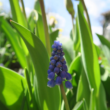 hyacinthus: Hyacinthus, in the color blue flowers in spring Stock Photo