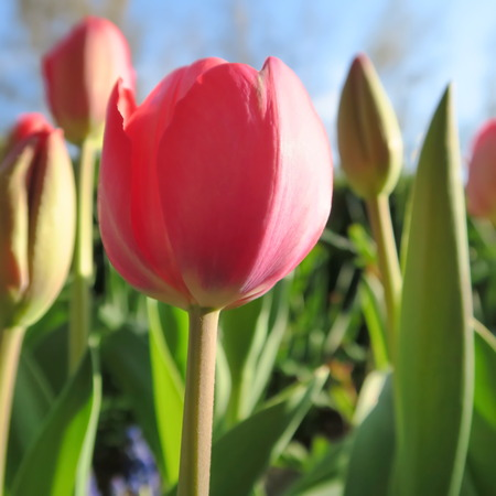 cottage garden: Tulipa, colorful spring flowers in a cottage garden