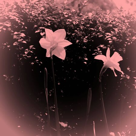 two delicate blossoms in pale colors with vignette photo