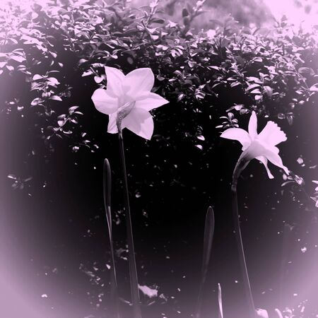 pale colors: two delicate blossoms in pale colors with vignette