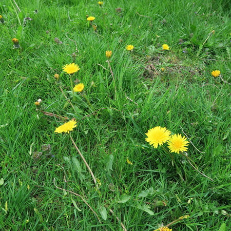 taraxacum: wildflowers, taraxacum, yellow flowers meadow in springtime Stock Photo