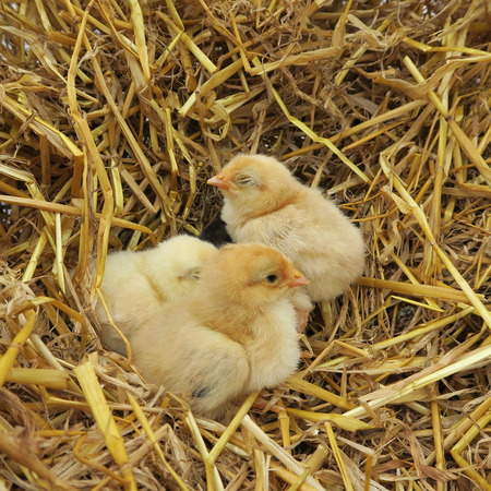 snuggle: four cute chicks snuggle in fresh straw in the spring