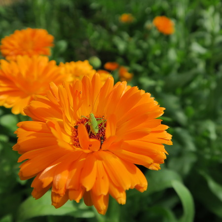 Calendula officinalis,orange flower that blooms in summer and has healing properties