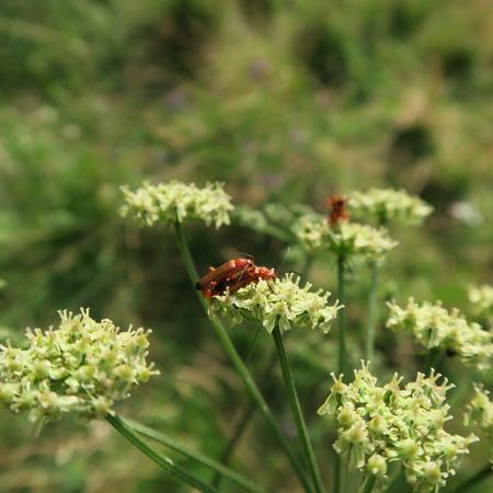 militaire sexy: un coléoptère dans l'appariement sur le mantegazzianum Heracleum hautement toxique