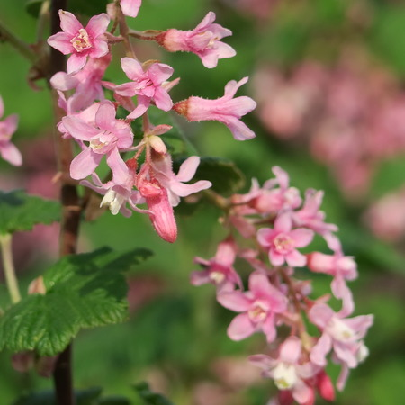persistent: Ribes sanguineum,persistent shrub with pink flowers in spring Stock Photo