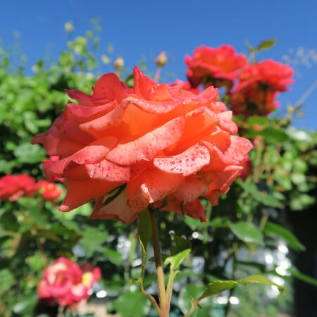 cottage garden: beautiful roses outside of a cottage garden in summer