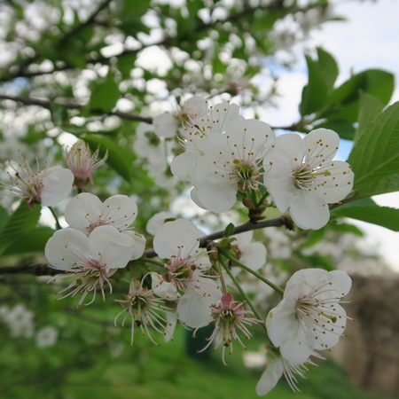 delicate: delicate fruit blossoms on tree in spring Stock Photo
