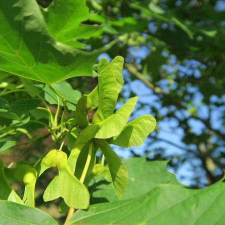 Quercus, flowers of an oak