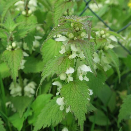 Lamium. With white small flowers, an edible wild cabbage, also suitable for modern home medicine, a healing plant which grows lasting 스톡 콘텐츠