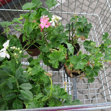 glasshouse: Plants in small pots for planting in the garden in a shopping cart in front of the supermarket