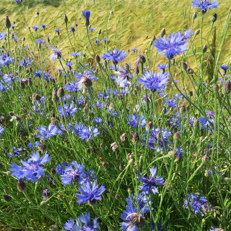 Blue Centaurea cyanus, cornflowers, blooming in the summer in northern Germany on the edges of meadows and fields