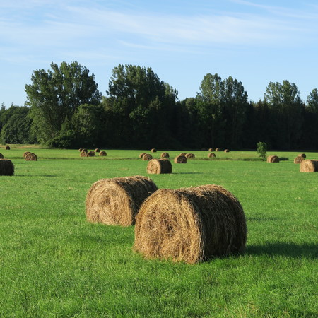harvested: On the field harvested round bales of straw lying on a green meadow in summer with bright blue sky