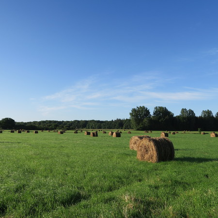 On the field harvested round bales of straw lying on a green meadow in summer with bright blue sky