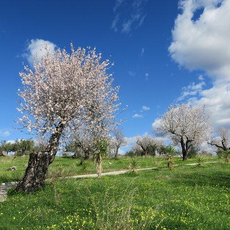 spring, bright blue sky, almond trees in february in europe, portugal