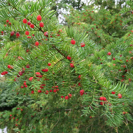 Taxus baccata, evergreen tree with red fruits