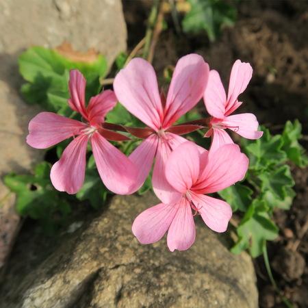 Geraniums, colored geraniums, beautiful flowers in the garden Standard-Bild