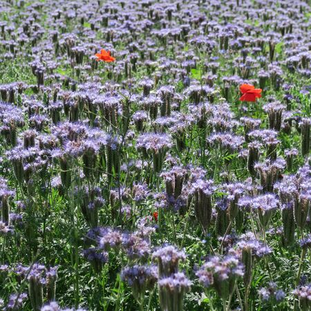 Phacelia, honeybee, bee pasture, a field for bees and insects at the edge of the field planted by agriculture as intercrop